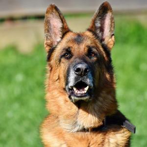 Der deutsche Schäferhund: Rasseprofil, Haltung und Ernährung